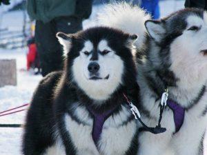 Hundspann Alaskan Malamute på Särna Camping